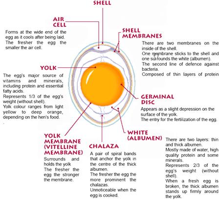 anatomy-of-an-egg